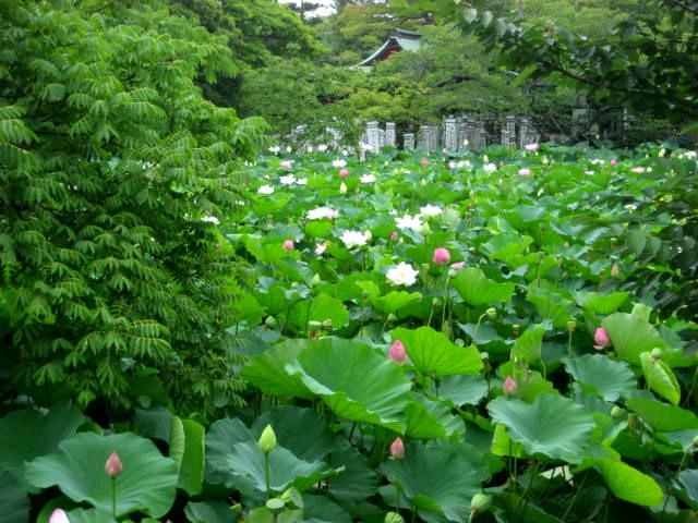 Lotus blanc 001