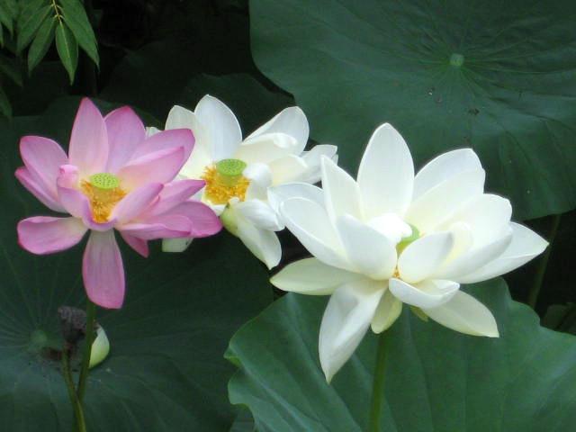 Lotus blanc 005