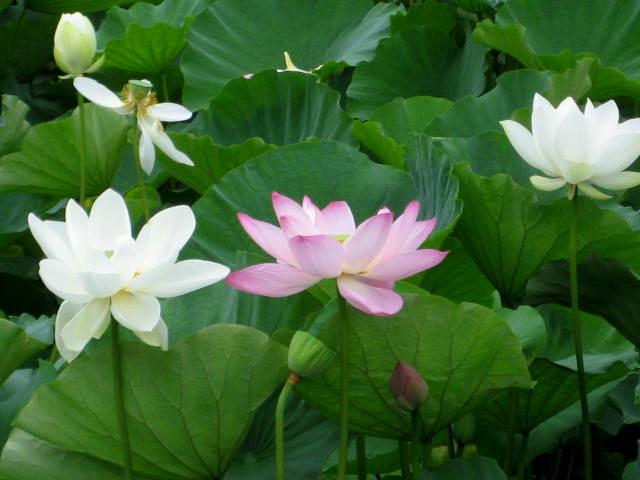 Lotus blanc 004