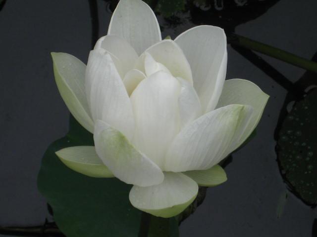 Lotus blanc 008