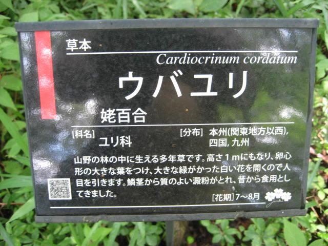 006ウバユリ(姥百合)ユリ科Cardiocrinum cordatum 01