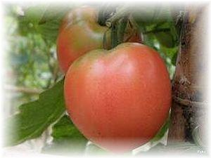 トマト未熟