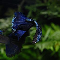 パープルテールコブラ♂