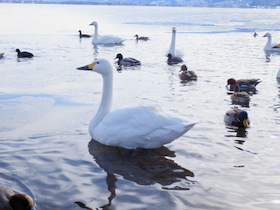 白鳥 (54)