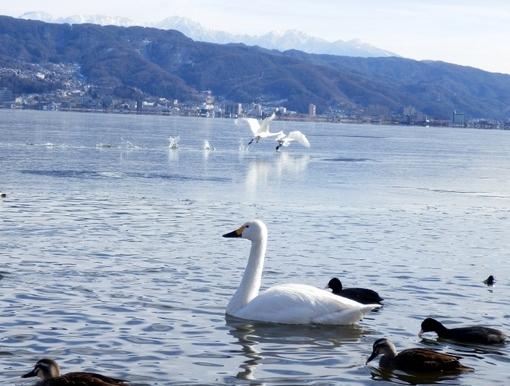 白鳥 (97)