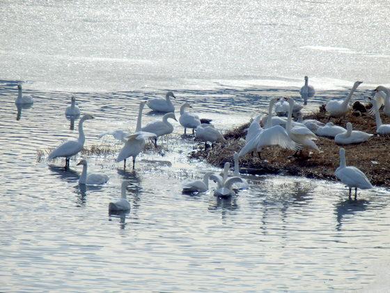 白鳥 (103)