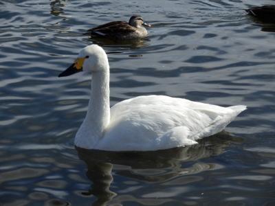 白鳥 (92)
