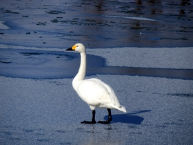 白鳥 (32)