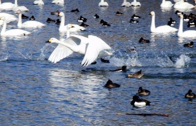 白鳥 (87)