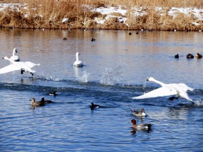 白鳥 (108)