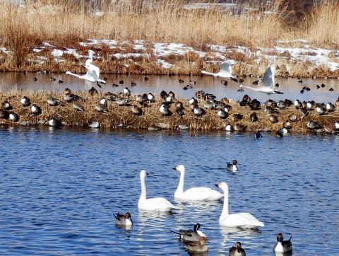 白鳥 (115)