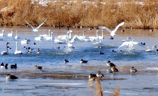 白鳥 (76)