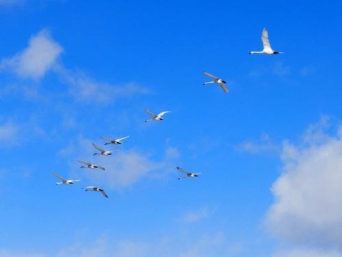 白鳥 (119)