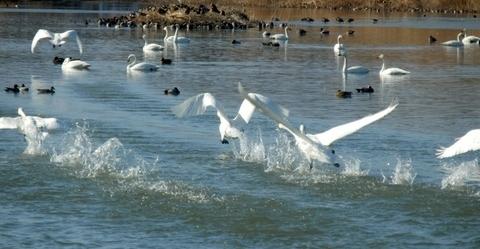 白鳥 (13)