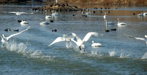 白鳥 (14)