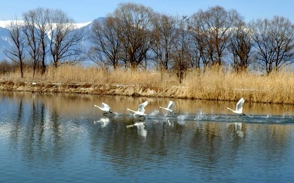 白鳥 (180)
