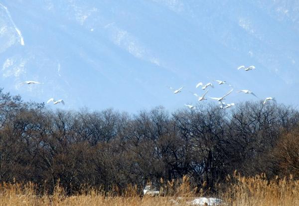 白鳥 (175)