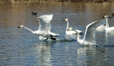 白鳥 (88)