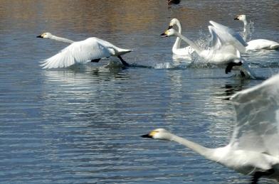 白鳥 (89)