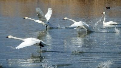 白鳥 (90)