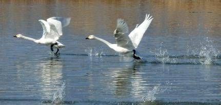 白鳥 (91)