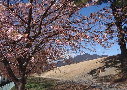 安倍川堤防沿美和桜-2