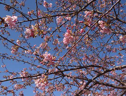安倍川堤防沿美和桜-3
