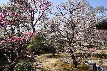 梅の花咲く紅葉山庭園-3