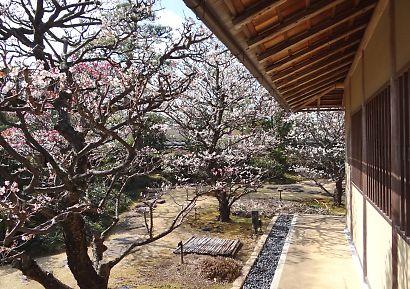 梅の花咲く紅葉山庭園-4