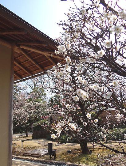梅の花咲く紅葉山庭園-5