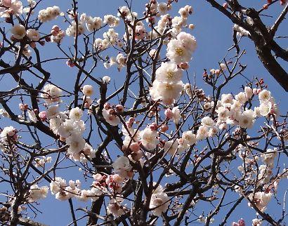 梅の花咲く紅葉山庭園-6