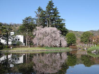 写真城北公園シダレ桜-1