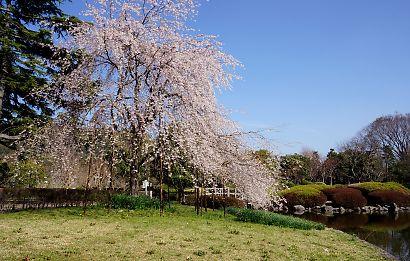 写真城北公園シダレ桜-2