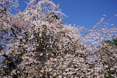 写真城北公園シダレ桜-4
