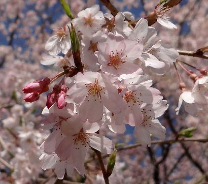 写真城北公園シダレ桜-5