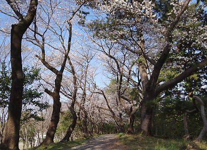 駿府城公園桜開花画像-7