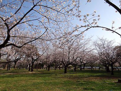 駿府城公園桜開花画像-8