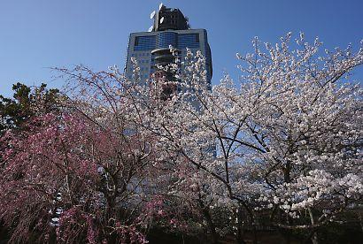駿府城公園桜開花画像-9
