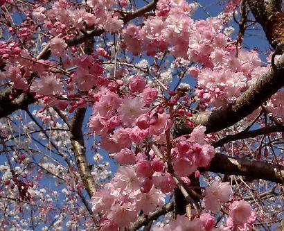 駿府城公園桜開花画像-10