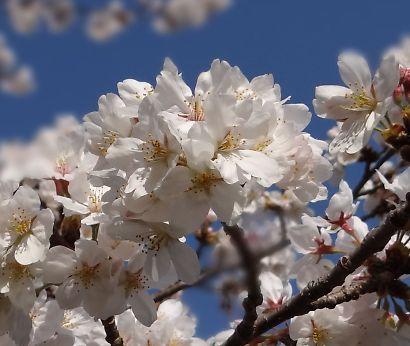 駿府城公園桜開花画像-11