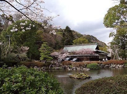 浅間神社枝垂れ桜写真26日-2