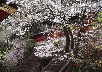 浅間神社枝垂れ桜写真26日-5