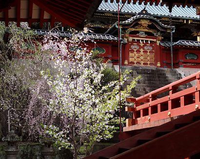 浅間神社枝垂れ桜写真26日-6