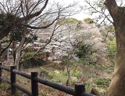 賤機山の桜画像-2