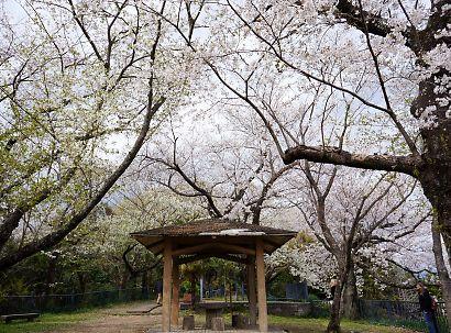 賤機山の桜画像-3