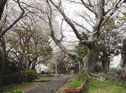 賤機山の桜画像-5