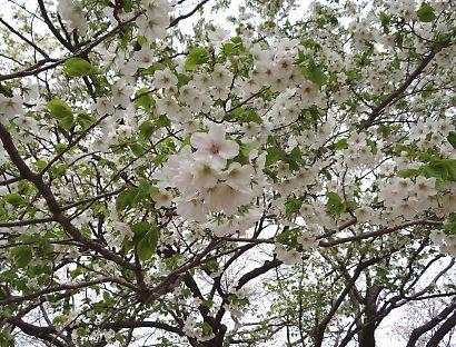 賤機山の桜画像-8