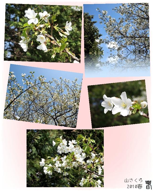 640800山桜