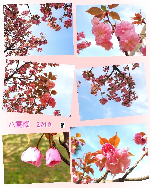 640800八重桜