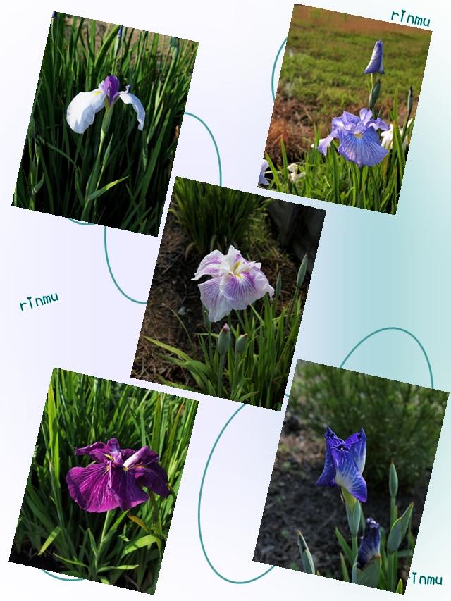640853紫陽花用1